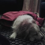 Ashley sleeping dog pet liften thuis home nederland hond loosdrecht