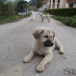photogenic street pups bosnia and herzegovina sarajevo 4