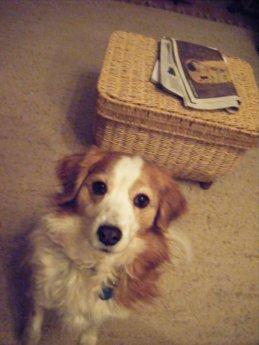 Ashley pet dog kooikerhondje what a good dog loss on the road
