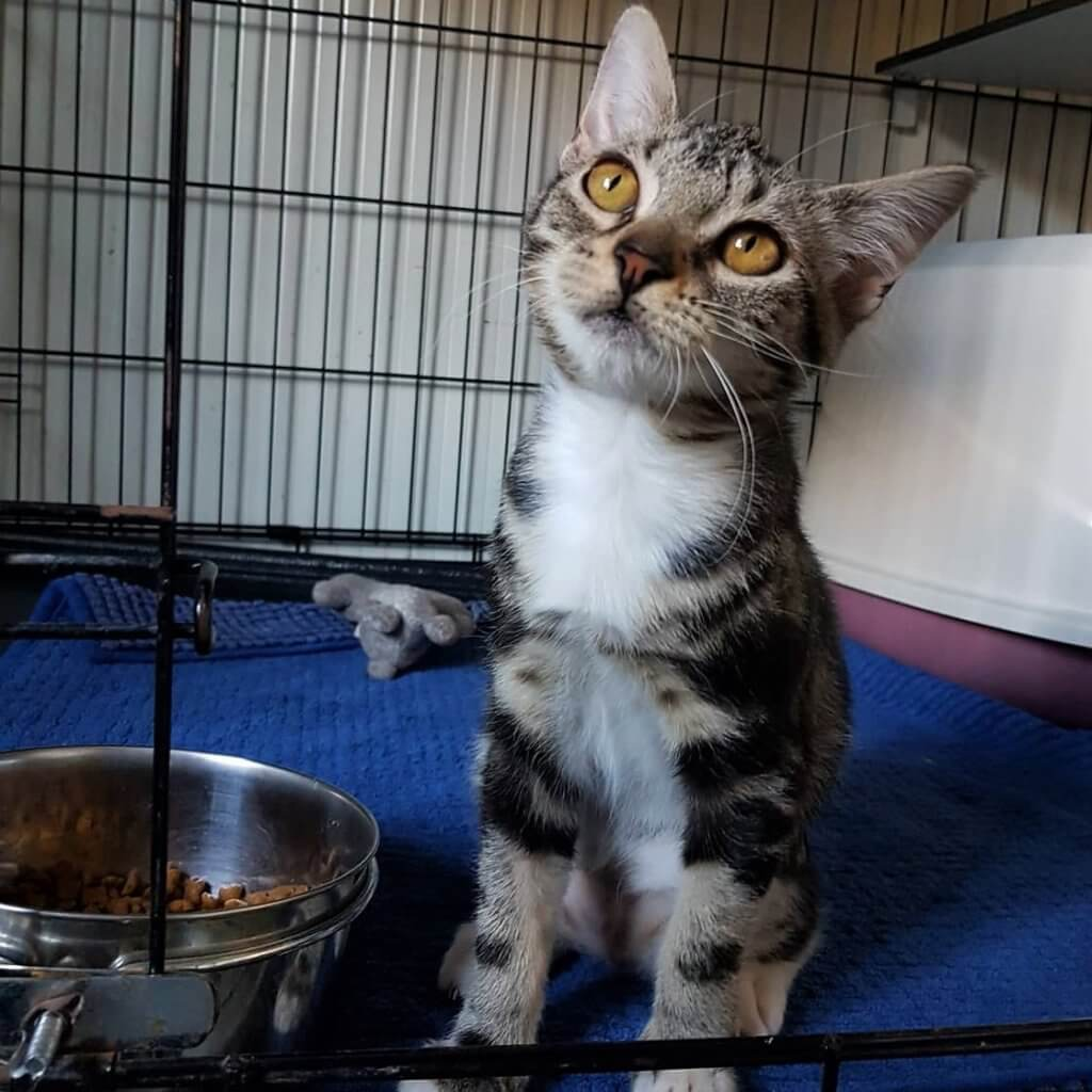 Choriza chorizo chouriço chouriça rescue kitten Porto Portugal vet midas veterinarian clinic adopt don't shop