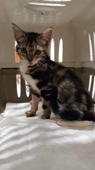 Choriza chorizo chouriço chouriça rescue kitten Porto Portugal vet midas veterinarian clinic adopt don't shop adoptive pet chonky cat crate carrier