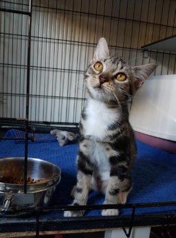 Choriza chorizo chouriço chouriça rescue kitten Porto Portugal vet midas veterinarian clinic adopt don't shop adoptive pet