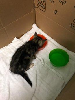 Choriza chorizo chouriço chouriça rescue kitten Porto Portugal vet midas veterinarian clinic adopt don't shop adoptive pet box towel food water
