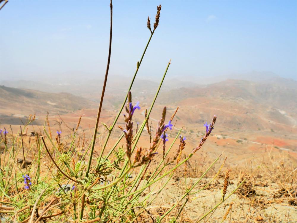 wild lavender Cabo Verde Monte Verde flora fauna hiking