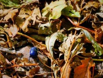24 blue beetle devínska kobyla Národná prírodná rezervácia
