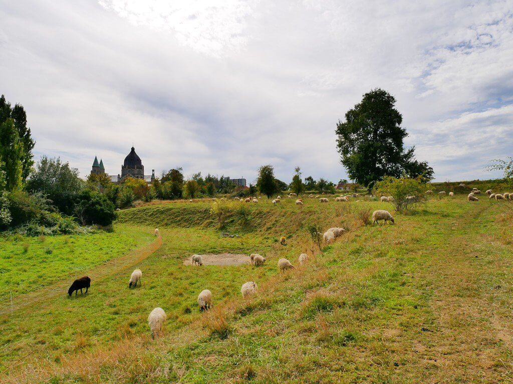 Autumn in Maastricht sheep grazing 4