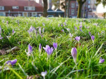 Winter in maastricht early crocus
