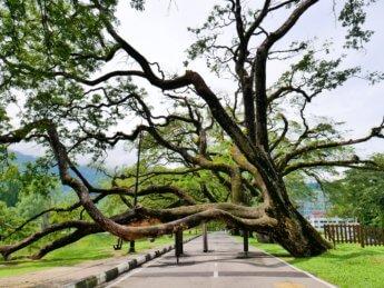 Taiping Lake Gardens Taman Tasik Taiping 1 overhanging tree