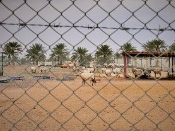 5 red fort al manama ajman zoo goat spikey horns hacienda napoles