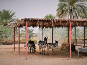6 red fort al manama ajman zebras zoo animals