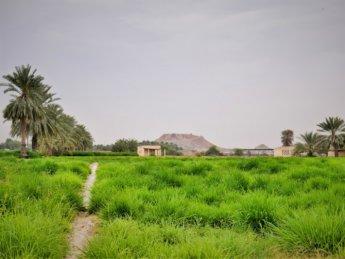 7 al manama ajman field bread basket UAE palm dates mountain