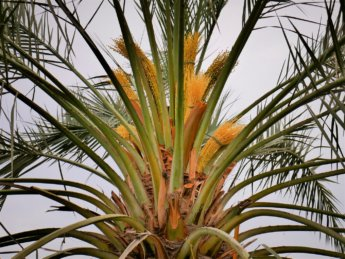 8 date palm al manama ajman blossom flowers
