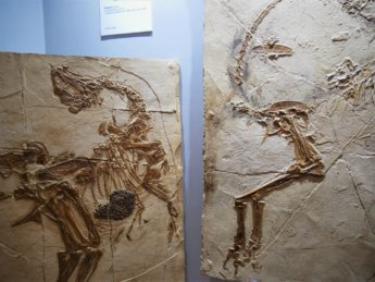 24 fossils pterodactyl on display museum sharjah flight old airport